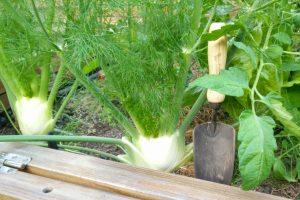 Aromatisches Gemüse – alte Gärtnerregeln
