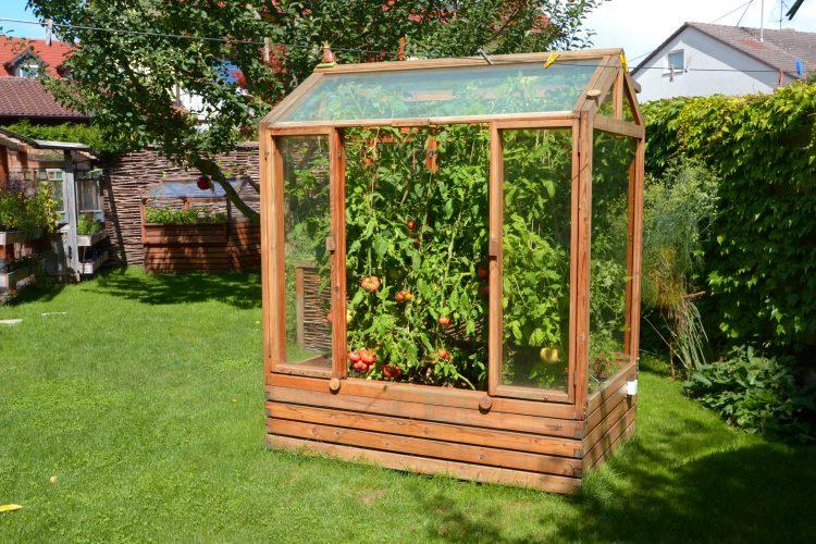 Tomatenhaus voller reifer Tomaten im August