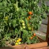 Viele Tomaten an den Rispen im Tomatenhaus von Gartenfrosch
