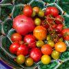leckere Tomaten in Waschbecken