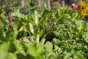 Frische Blattsalate für die kalte Jahreszei