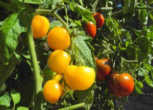 Meine Pflanzen tragen kaum Früchte – Warum?