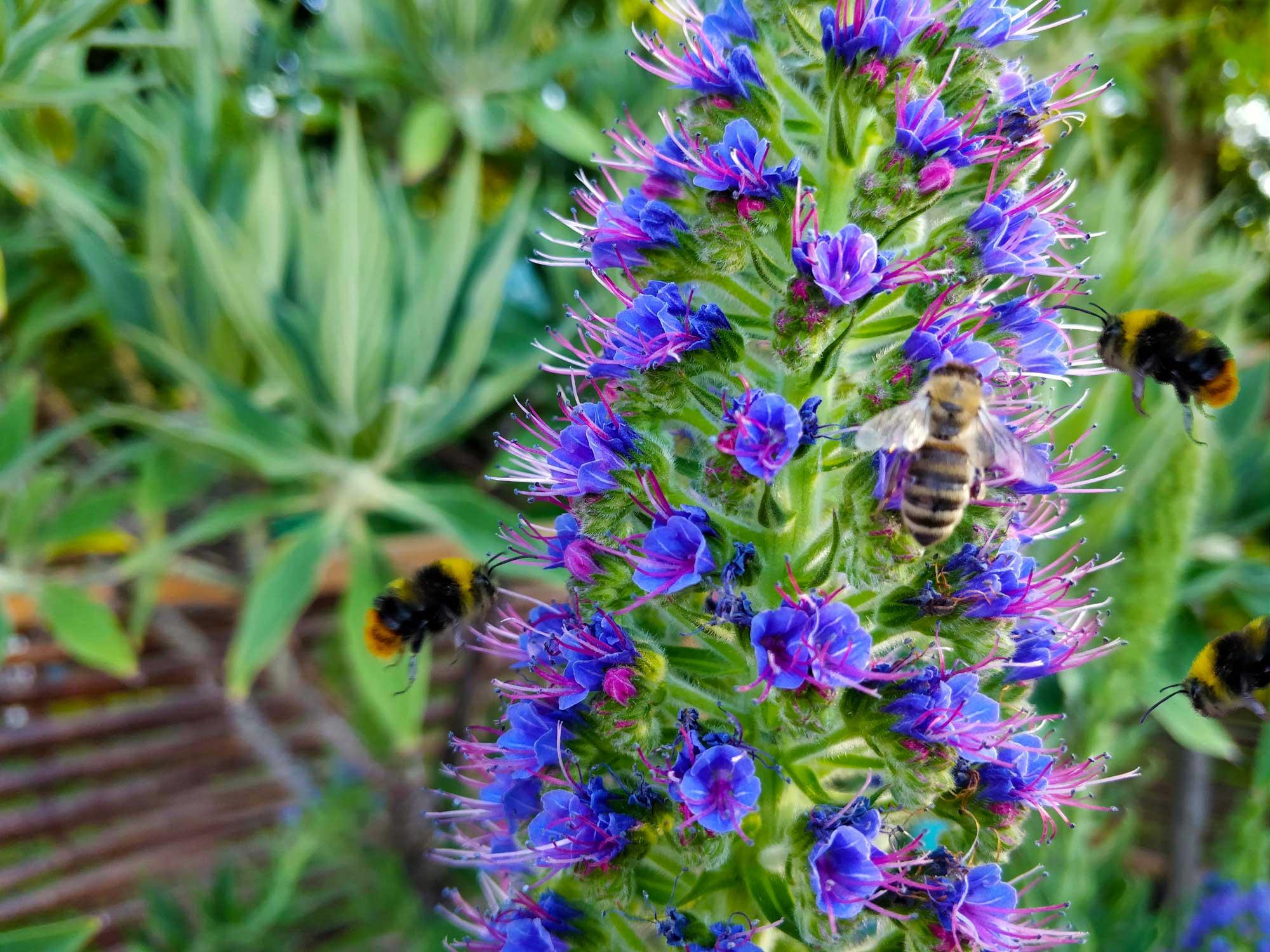 Himmeln und Bienen an Blüten