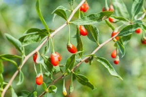 fotolia_87937399_subscription_monthly_m_goji-beeren