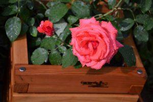 Pflanzkasten mit Rose