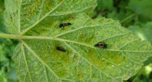 Marienkäferlarven fressen Blattläuse
